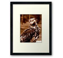 Young Bald Eagle Framed Print