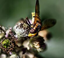 Hoverfly by larry flewers
