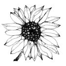 Sunflower Drawing by Betty Mackey
