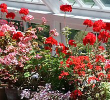 Geraniums in the glasshouse by Joanne Emery