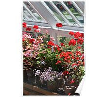 Geraniums in the glasshouse Poster