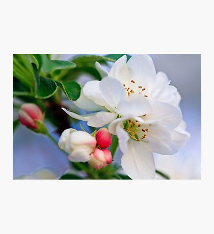 Crab Apple Blossoms Photographic Print