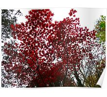 Maple Leaf Red Sky Poster