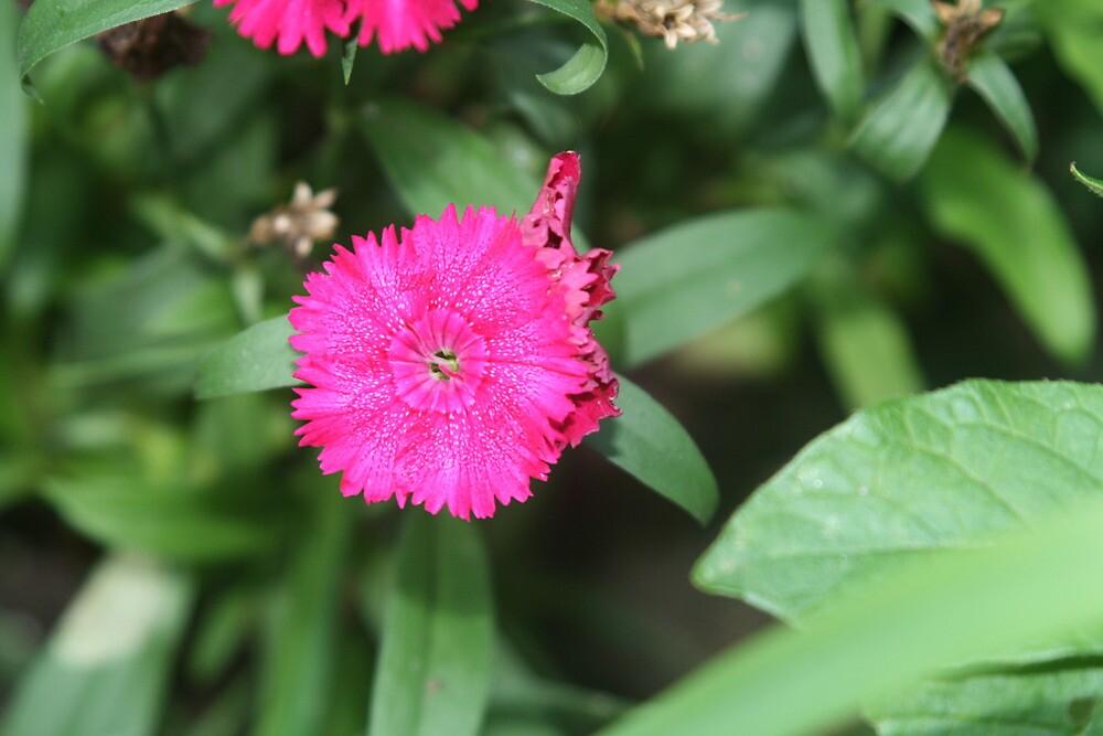 Hot Pinks by Lorrie Davis