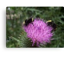 Thistle Bumble Bees Canvas Print