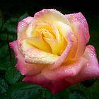 Favorite Rose by Lorrie Davis