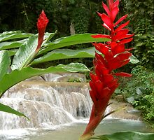 Ginger Lilies in Jamaica by Roneeta Nandi