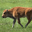 Bison Calf by JamesA1