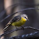 Eastern Yellow Robin by Kerryn Ryan, Mosaic Avenues