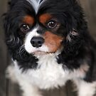 Jasper the King Charles Cavalier by Dentanarts