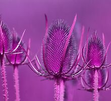 Teasels by M.S. Photography/Art
