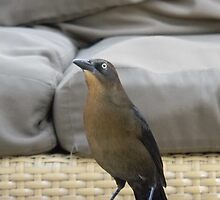 Great-tailed Grackle by Leyla Hur