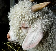 Profile of an Angora Goat  by Selina Ryles