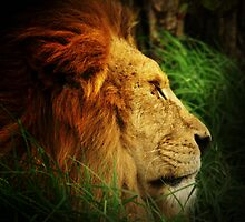 Lion by Jon Staniland