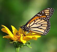 Early Morning Butterfly by lorilee