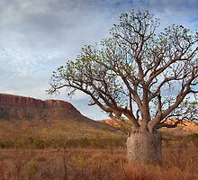 Boab Tree, Gibb River Road, Western Australia, 10 Oct 2010 by Andrew Brooks