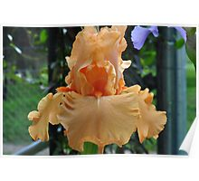 Orange Iris Beauty Poster