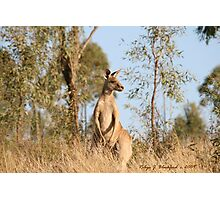 Bush Kangaroo at Lake Boondooma Photographic Print