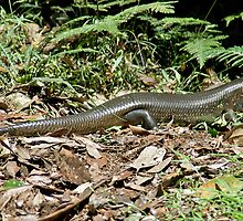 Land Mullet (Egernia major), Queensland, Australia by Adrian Paul