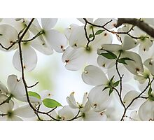 Dogwood Blossoms Photographic Print