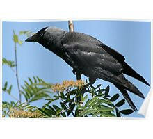 Jackdaw in the trees Poster