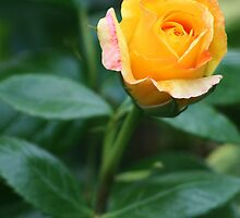 Gorgeous orange rose bud by Joanne Emery