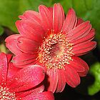Gerbera by Stephanie Owen