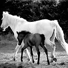 Mare & foal at play. by Julian Easten