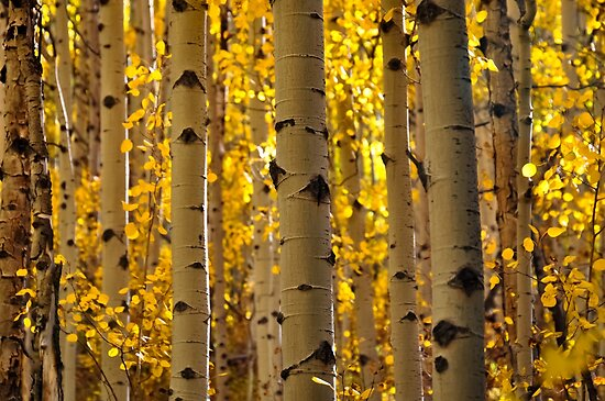Aspen Tree Trunks by Reese Ferrier