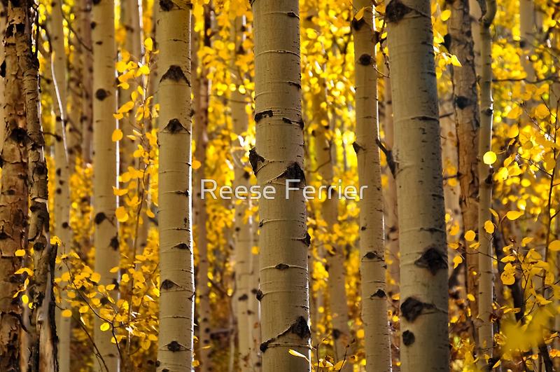 Aspen Tree Trunks by Reese Ferrier