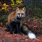 Red Fox by Don Rankin