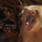 Female Baboon by whiterussian