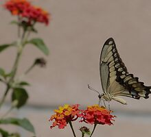 Swallowtail by DonnaMoore