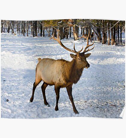 Bull Elk Poster