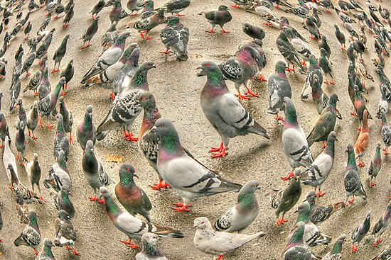 circle of pigeons by henuly1
