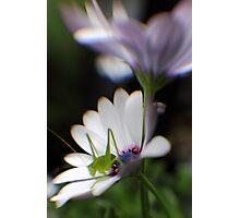 Grasshopper on White Daisy Photographic Print