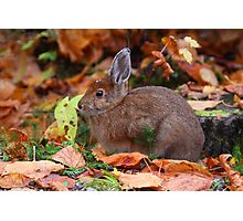Snowshoe Hare in Autumn  Photographic Print