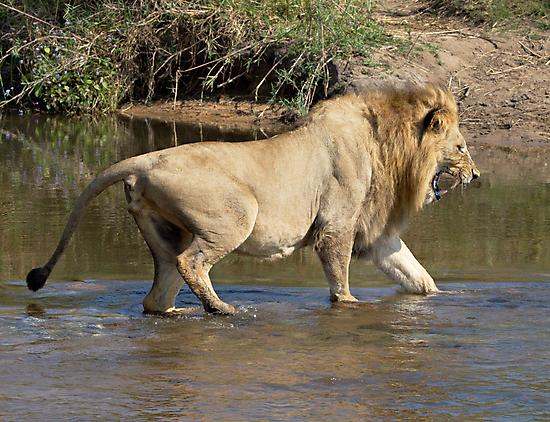 Majingilane Male Crossing River by Michael  Moss