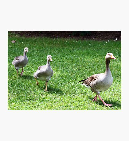 Ducks playing Follow the Leader Photographic Print