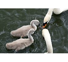 White swans and cygnets Photographic Print