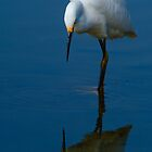 Snowy Egret (Egretta thula) by Eyal Nahmias