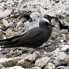 Brown & Black Noddies on Lord Howe Island by DianneLac