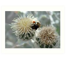 Bumble Bee harvesting pollen on flowers Art Print