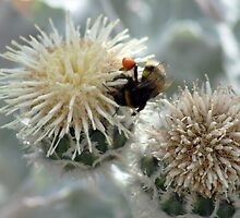 Bumble Bee harvesting pollen on flowers by Joanne Emery
