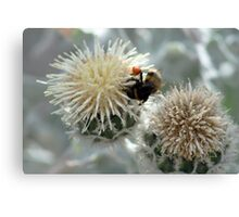 Bumble Bee harvesting pollen on flowers Canvas Print