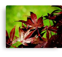 Japanese Maple Fall. Canvas Print