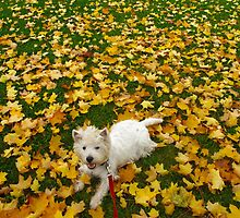A Westie Autumn Breeze by MarianBendeth
