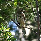 Falcon Sitting Pretty by DARRIN ALDRIDGE