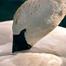 Swan by Sue Ratcliffe