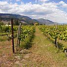 Kelowna vines by zumi